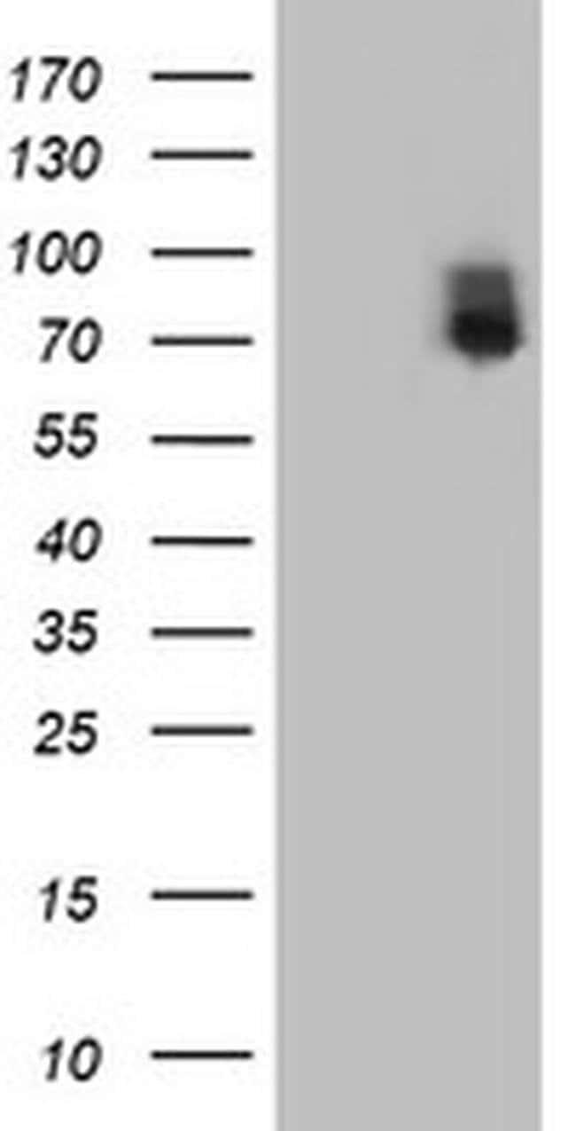 ILVBL Mouse anti-Human, Rat, Clone: OTI8A12, liquid, TrueMAB  100 µL;