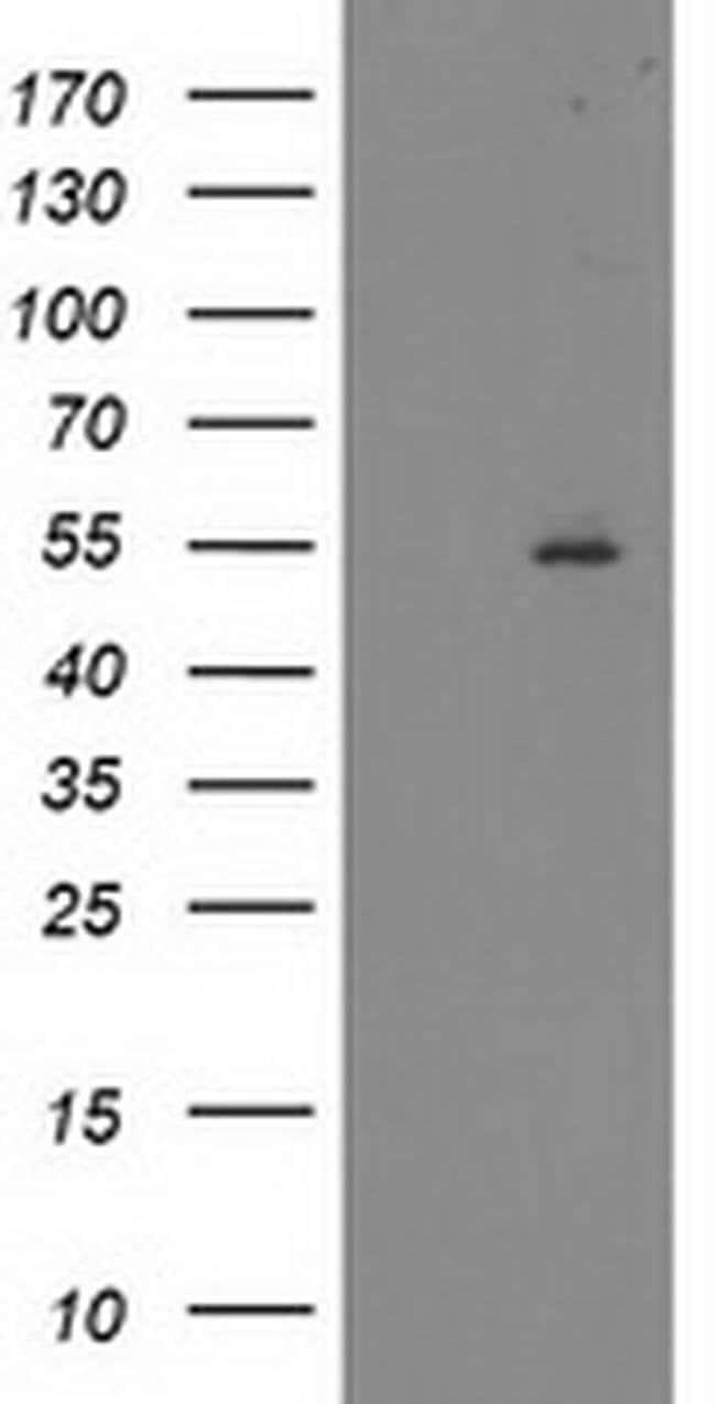 ITFG2 Mouse anti-Human, Clone: OTI3A6, liquid, TrueMAB  100 µL; Unconjugated