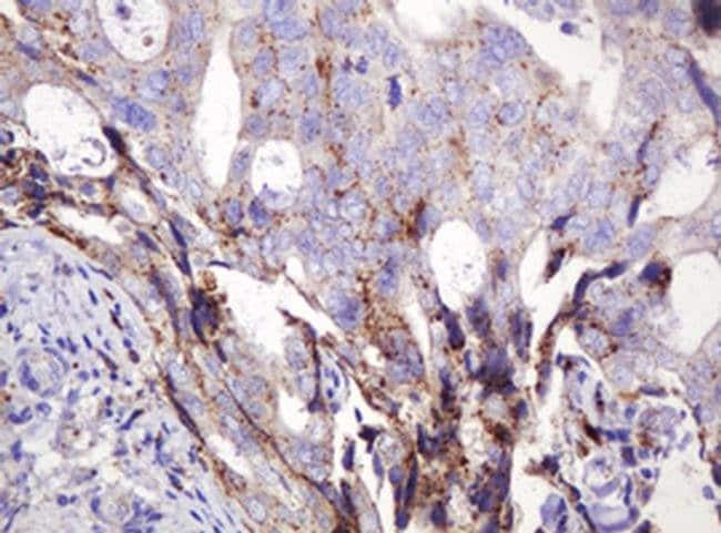ITFG3 Mouse anti-Human, Clone: OTI3B3, liquid, TrueMAB  100 µL; Unconjugated