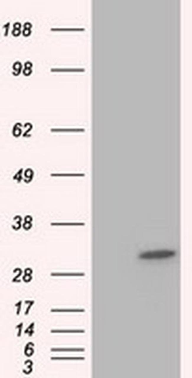 KHK Mouse anti-Human, Clone: OTI3C4, liquid, TrueMAB  100 µL; Unconjugated