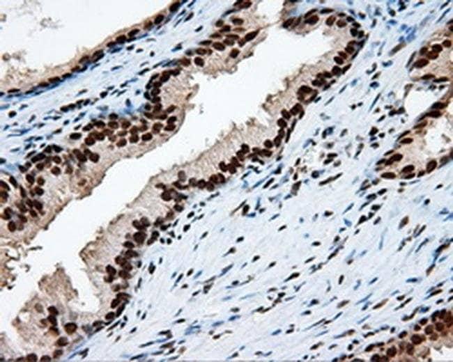 KIAA1609 Mouse anti-Human, Clone: OTI12B1, liquid, TrueMAB  100 µL;