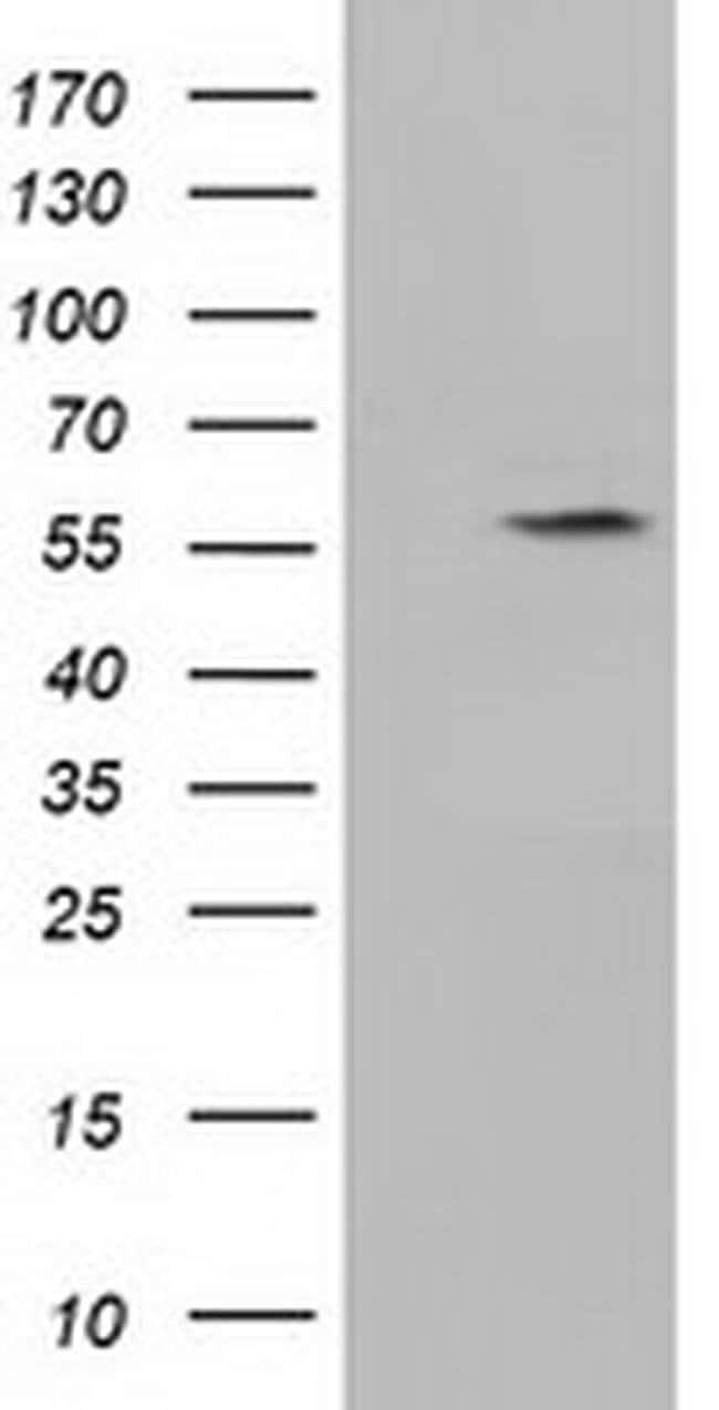 KLHL2 Mouse anti-Human, Clone: OTI3H9, liquid, TrueMAB  100 µL; Unconjugated