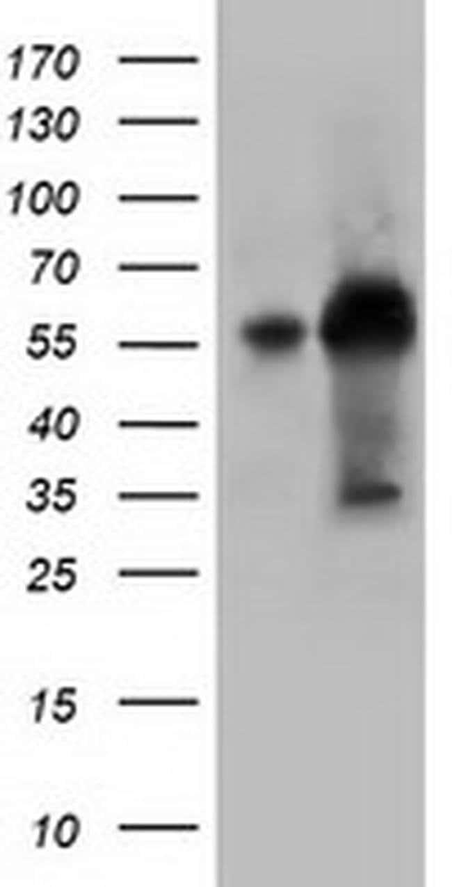 KLHL2 Mouse anti-Canine, Human, Clone: OTI1G7, liquid, TrueMAB  100 µL;