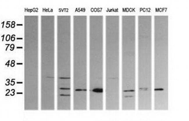 KLK8 Mouse anti-Canine, Human, Mouse, Rat, Clone: OTI1A9, liquid, TrueMAB