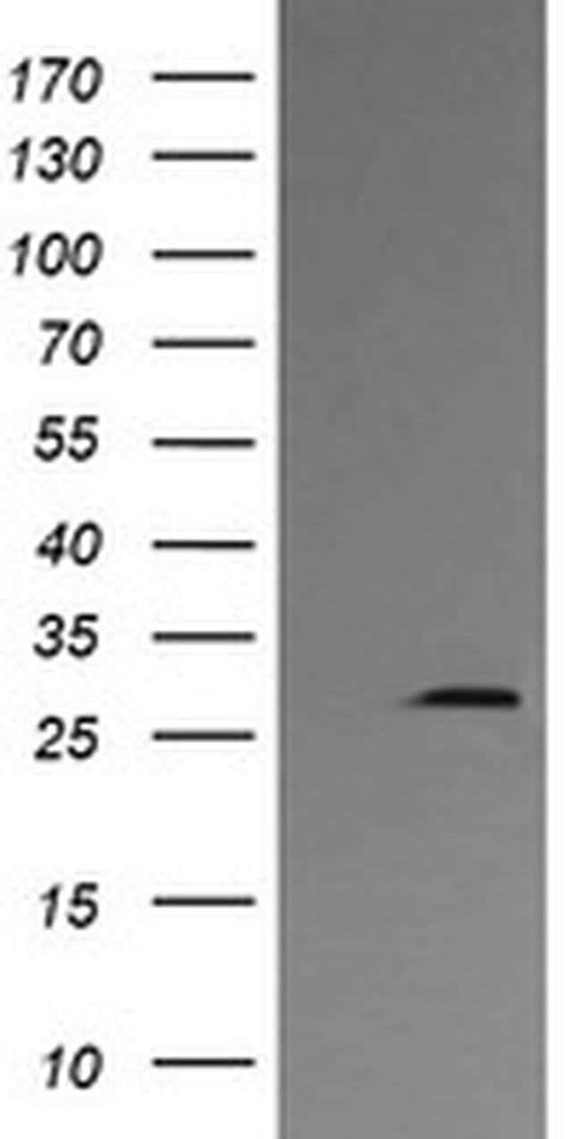 KLK8 Mouse anti-Canine, Human, Clone: OTI2C6, liquid, TrueMAB  100 µL;