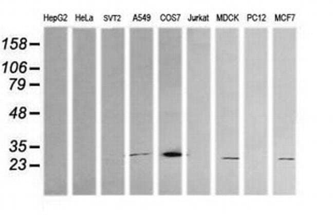 KLK8 Mouse anti-Canine, Human, Clone: OTI16G2, liquid, TrueMAB  100 µL;