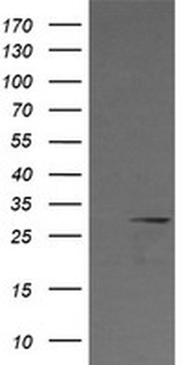 KLK8 Mouse anti-Human, Clone: OTI8F1, liquid, TrueMAB  100 µL; Unconjugated