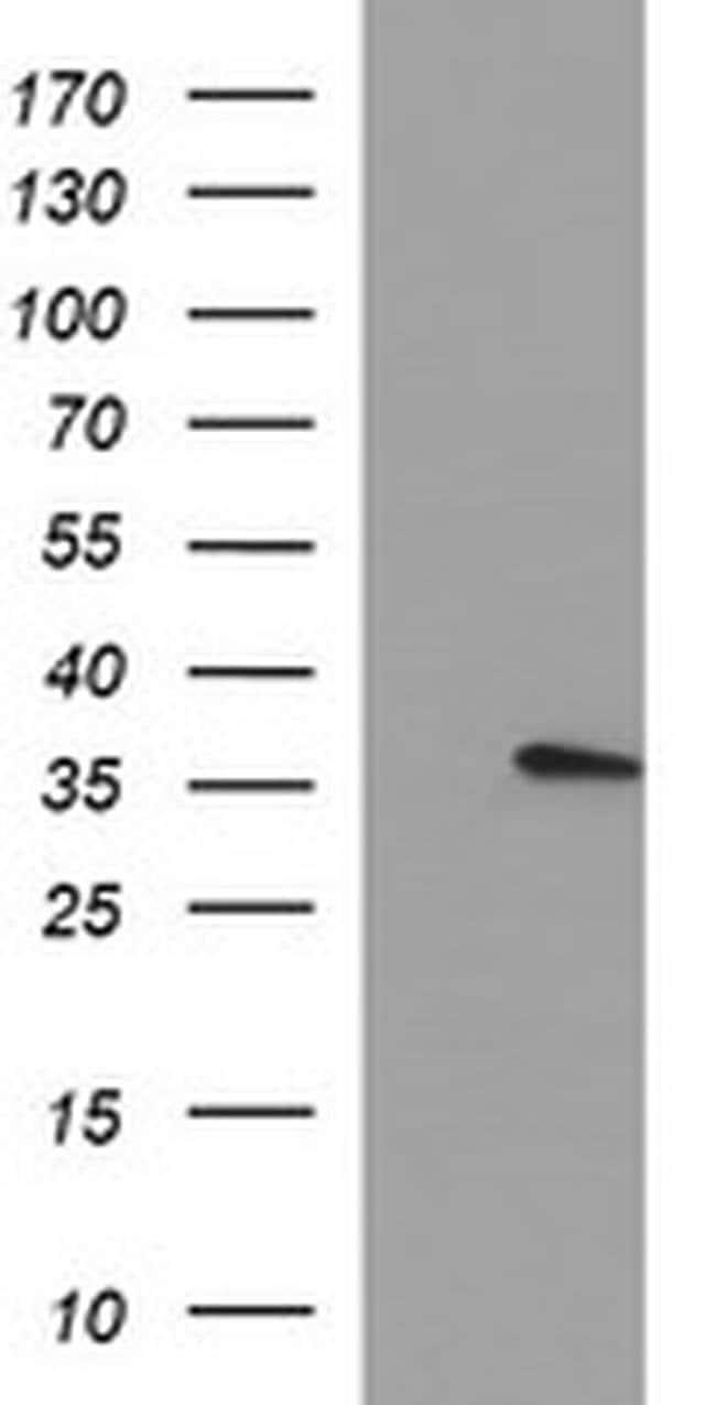 KLK8 Mouse anti-Human, Clone: OTI2A1, liquid, TrueMAB  100 µL; Unconjugated