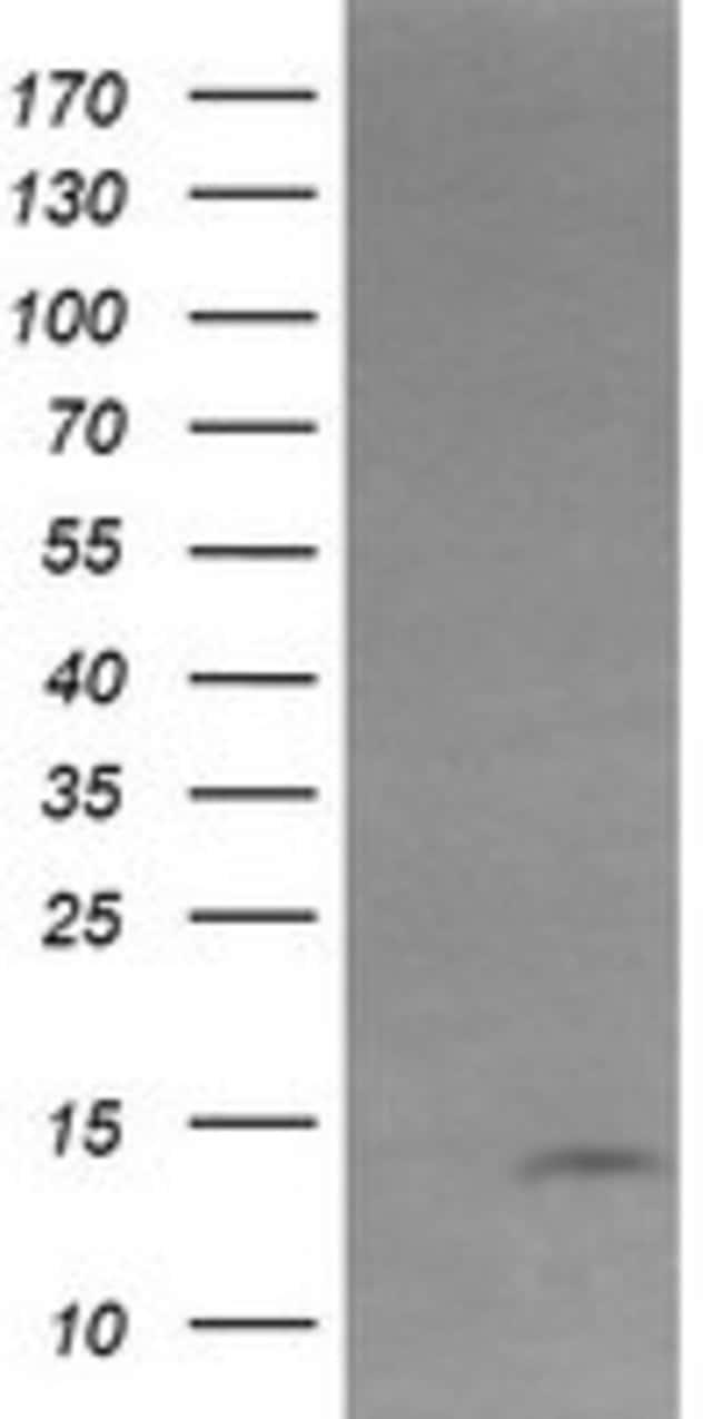 KRTAP2 Mouse anti-Human, Clone: OTI3B4, liquid, TrueMAB  100 µL; Unconjugated