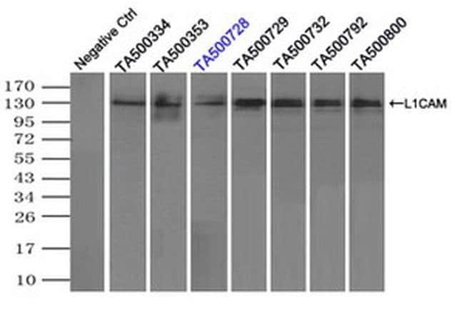L1CAM Mouse anti-Human, Clone: OTI2A6, liquid, TrueMAB  100 µL; Unconjugated