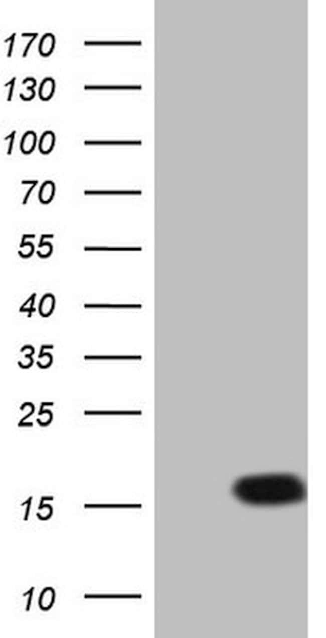LELP1 Mouse anti-Human, Clone: OTI2B4, lyophilized, TrueMAB  100 µg;