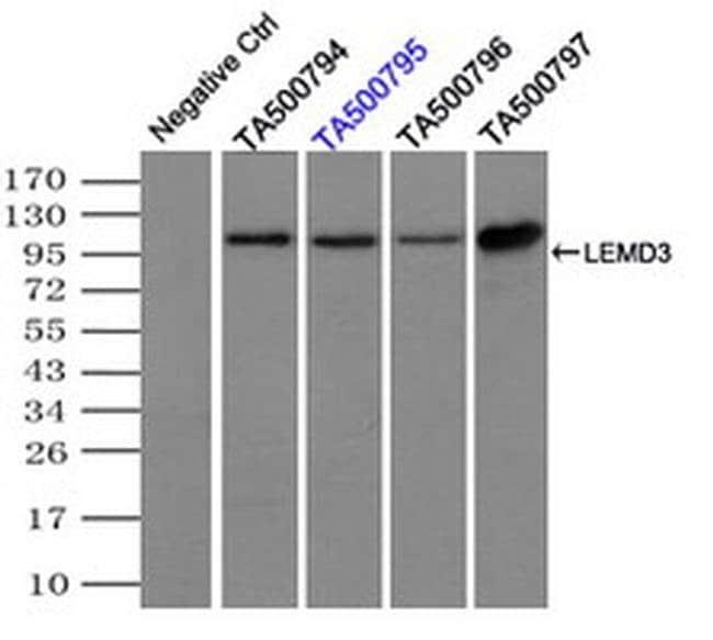 LEMD3 Mouse anti-Canine, Human, Clone: OTI3H2, liquid, TrueMAB  100 µL;