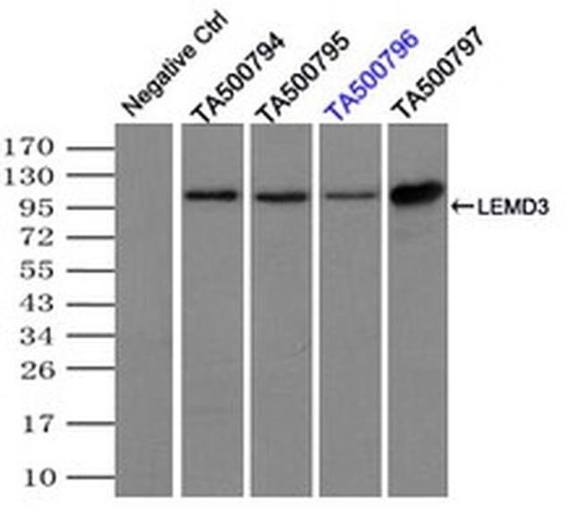 LEMD3 Mouse anti-Canine, Human, Rat, Clone: OTI3H1, liquid, TrueMAB  100