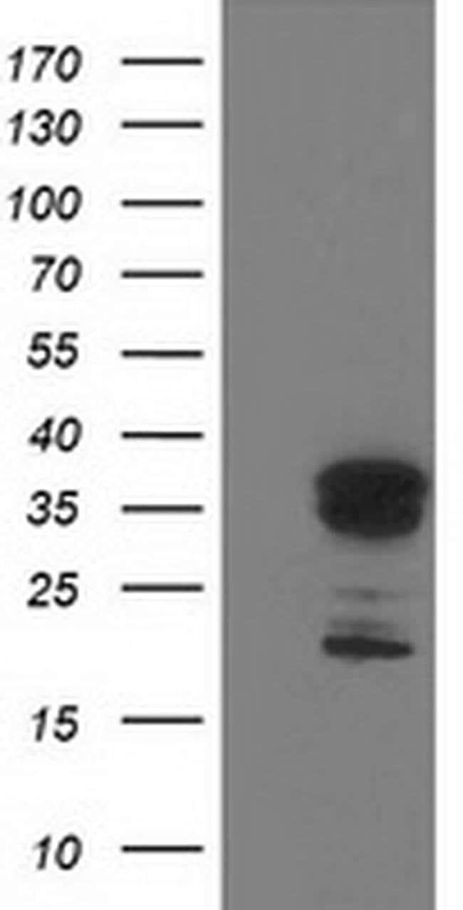 LENG1 Mouse anti-Human, Clone: OTI1G5, liquid, TrueMAB  100 µL; Unconjugated