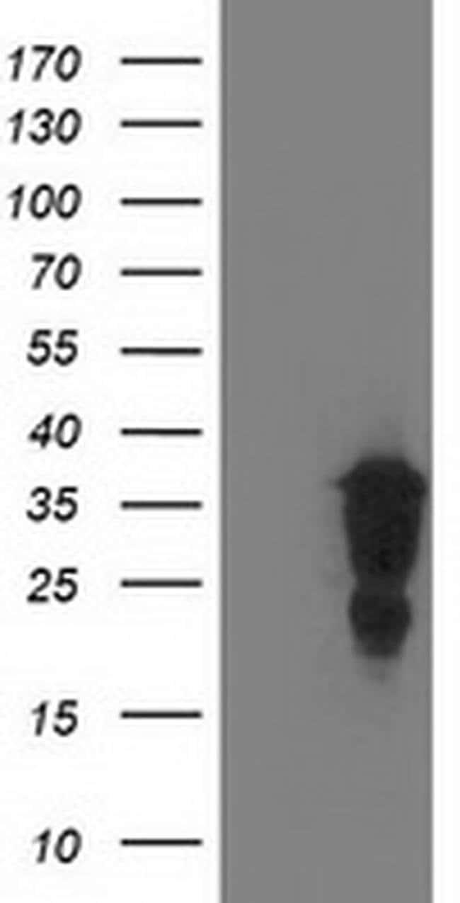 LENG1 Mouse anti-Human, Clone: OTI1D4, liquid, TrueMAB  100 µL; Unconjugated