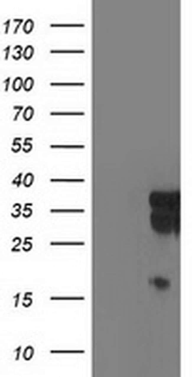 LENG1 Mouse anti-Human, Clone: OTI1E8, liquid, TrueMAB  100 µL; Unconjugated