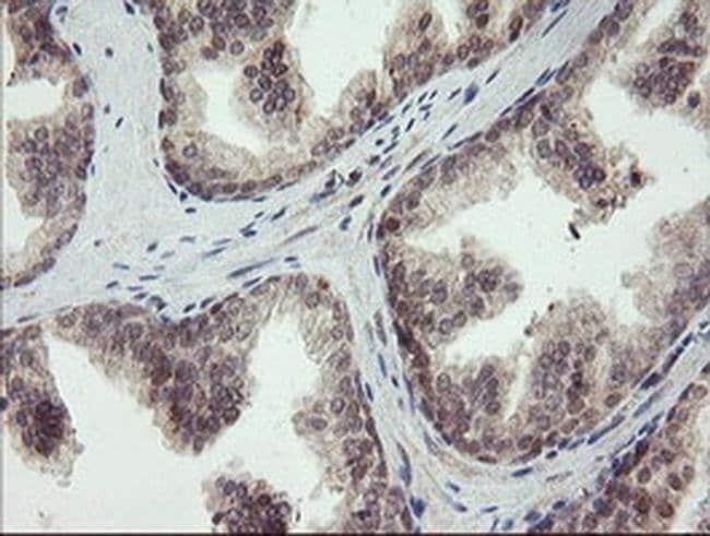 LEPRE1 Mouse anti-Human, Clone: OTI1H3, liquid, TrueMAB  100 µL; Unconjugated