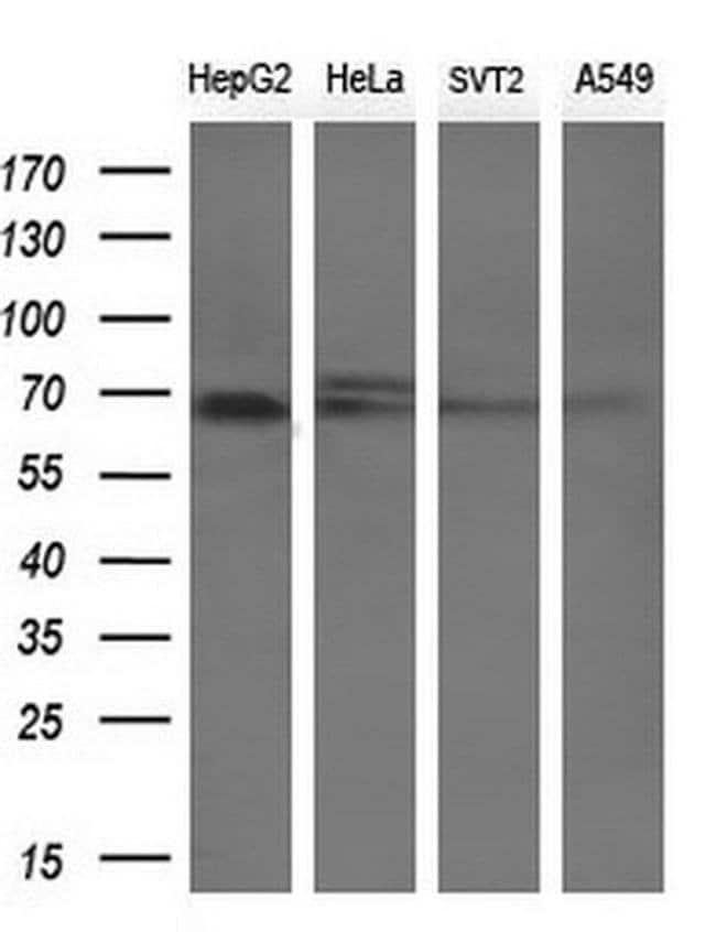 LGALS3BP Mouse anti-Human, Clone: OTI1F8, liquid, TrueMAB  100 µL;
