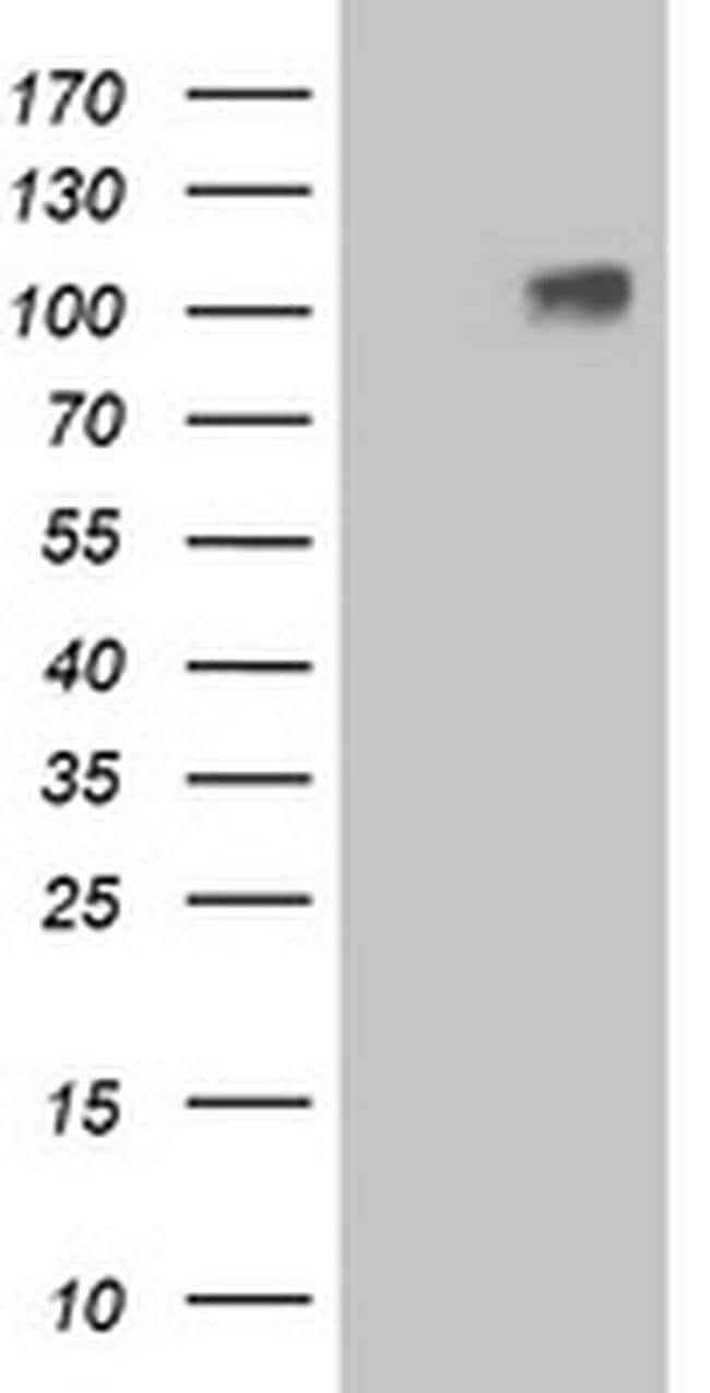 LGR4 Mouse anti-Human, Clone: OTI2D1, liquid, TrueMAB  100 µL; Unconjugated