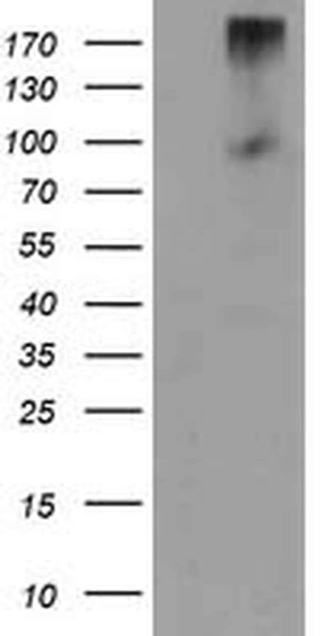 LGR5 Mouse anti-Human, Clone: OTI2H7, liquid, TrueMAB  100 µL; Unconjugated