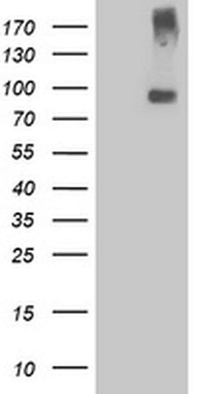 LGR5 Mouse anti-Human, Clone: OTI3E11, liquid, TrueMAB  100 µL; Unconjugated