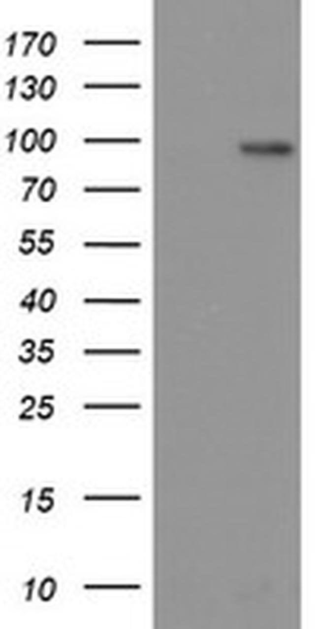 LGR5 Mouse anti-Human, Clone: OTI14E1, liquid, TrueMAB  100 µL; Unconjugated