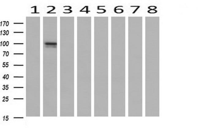 LGR6 Mouse anti-Human, Clone: OTI2A3, liquid, TrueMAB  30 µL; Unconjugated
