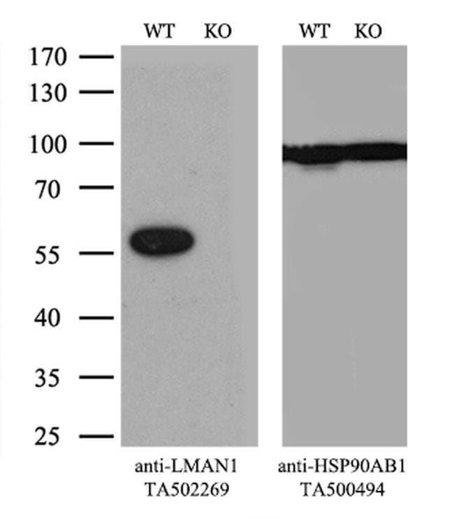 LMAN1 Mouse anti-Canine, Human, Rat, Clone: OTI1B8, liquid, TrueMAB  100