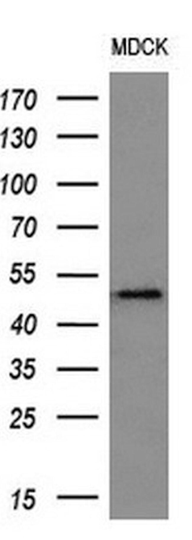 LOX Mouse anti-Human, Clone: OTI9G6, liquid, TrueMAB  100 µL; Unconjugated