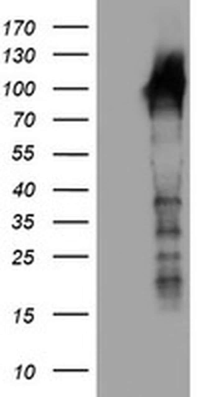LRRC50 Mouse anti-Human, Mouse, Rat, Clone: OTI3F9, liquid, TrueMAB  100