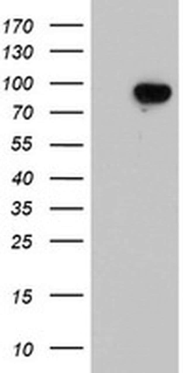 LRRC50 Mouse anti-Human, Clone: OTI3E2, liquid, TrueMAB  100 µL; Unconjugated