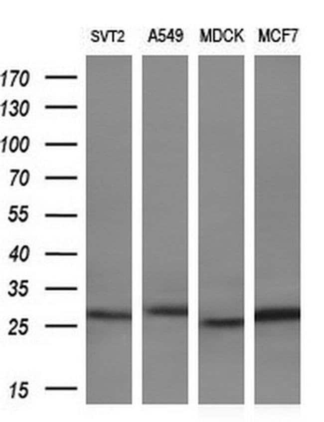 LXN Mouse anti-Human, Clone: OTI1E10, liquid, TrueMAB  100 µL; Unconjugated