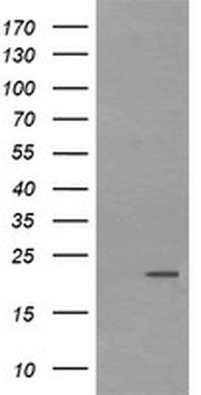 LZIC Mouse anti-Canine, Human, Clone: OTI5F1, liquid, TrueMAB  100 µL;