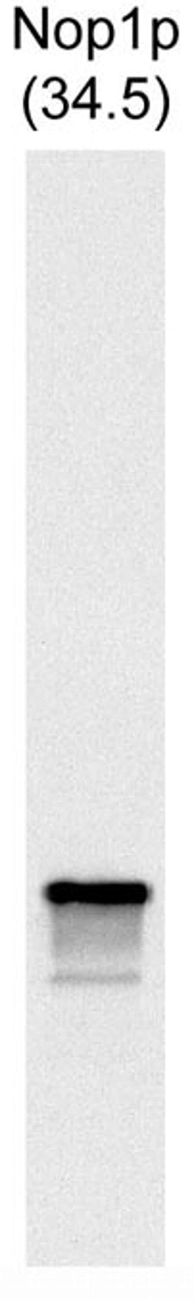 NOP1 Mouse anti-Yeast, Clone: 28F2, Invitrogen 500 µL; Unconjugated