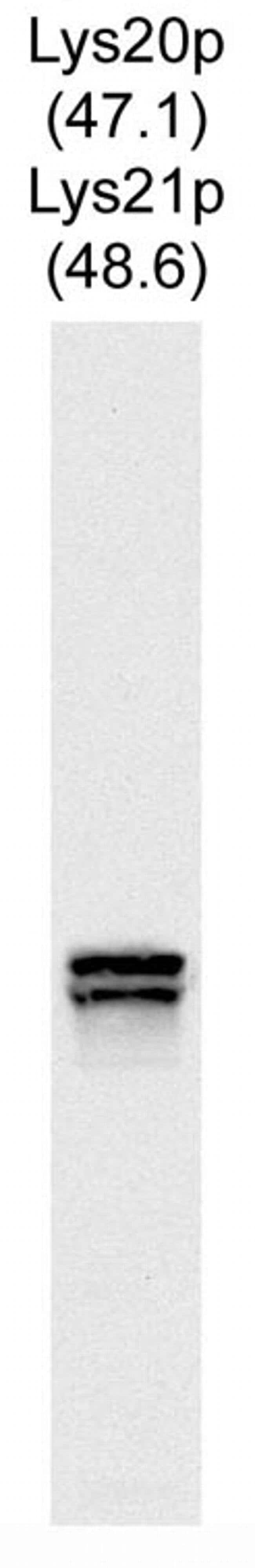 Lys20/Lys21 Mouse anti-Yeast, Clone: 31F5, Invitrogen 100 µL; Unconjugated