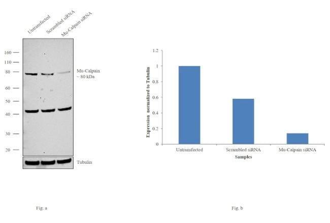 Mu-Calpain Mouse anti-Bovine, Human, Mouse, Rat, Clone: 15C10, Invitrogen