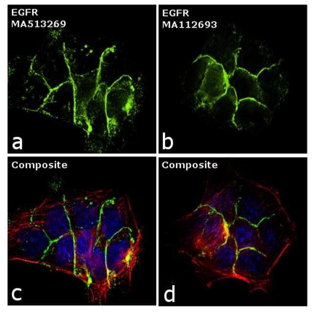 EGFR Mouse anti-Human, Mouse, Clone: H11, Invitrogen 100 µg; Unconjugated