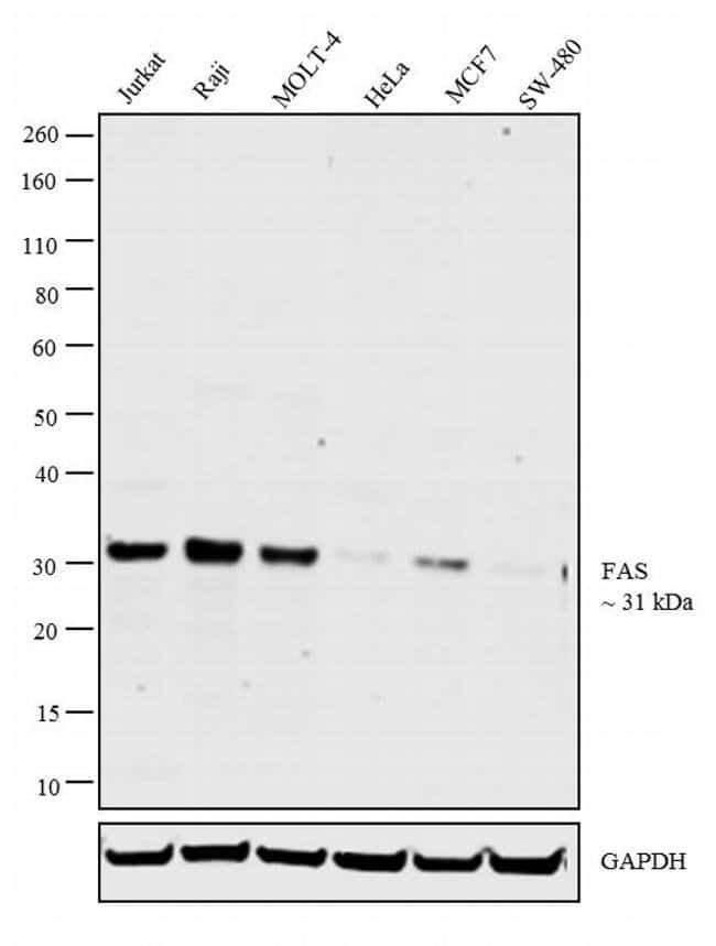 FAS Mouse anti-Human, Clone: UT-1, Invitrogen 100 μg; Unconjugated:Antibodies