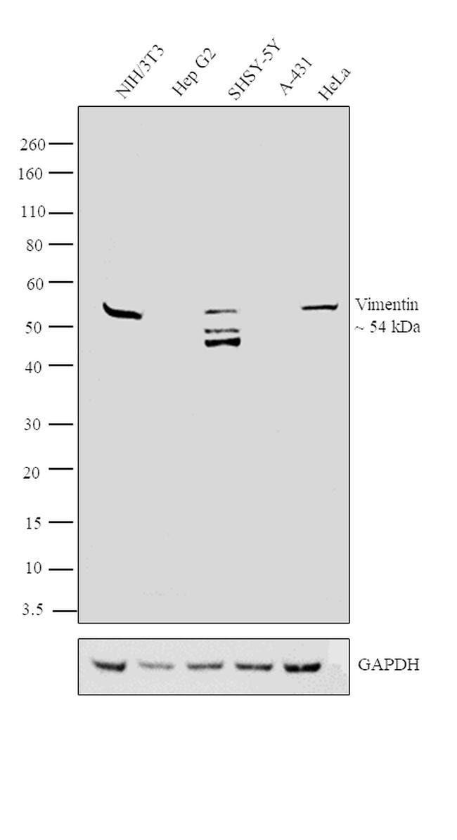 Vimentin Mouse anti-Mammalia, Clone: VI-01, Invitrogen 100 μg; Unconjugated:Antibodies