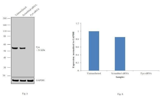 Fyn Mouse anti-Human, Mouse, Clone: FYN-01, Invitrogen 100 µg; Unconjugated