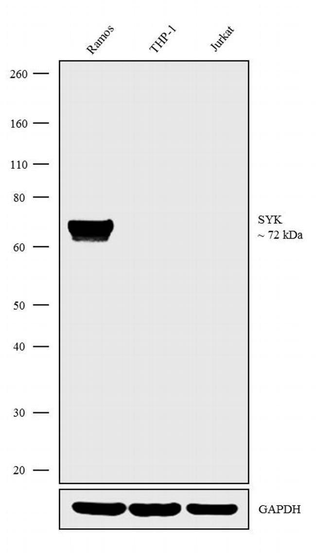 Syk Mouse anti-Human, Mouse, Rat, Clone: SYK-01, Invitrogen 100 µg;