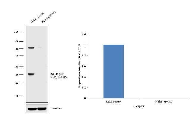 NFkB p50 Mouse anti-Human, Clone: 2J10D7, Invitrogen 100 µg; Unconjugated
