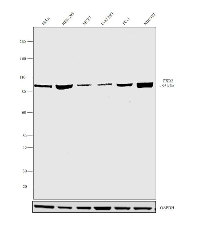 FXR2 Mouse anti-Human, Mouse, Clone: A42, Invitrogen 100 μL; Unconjugated:Antibodies