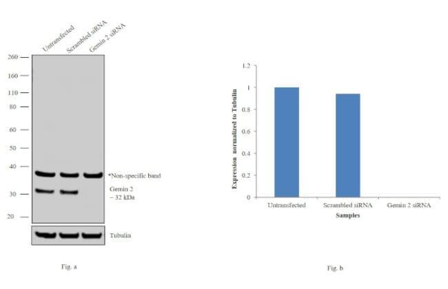 Gemin 2 Mouse anti-Human, Xenopus laevis, Clone: 2E17, Invitrogen 100 μL;