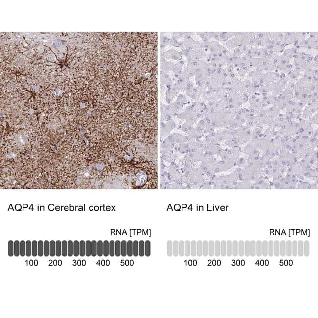 Aquaporin 4 Mouse anti-Human, Clone: CL0178, Invitrogen 100 µL; Unconjugated