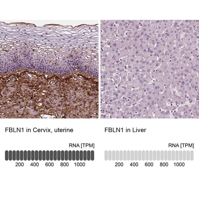 Fibulin 1 Mouse anti-Human, Clone: CL0337, Invitrogen 100 µL; Unconjugated