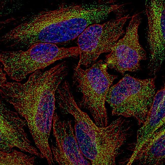 PLA2R1 Mouse anti-Human, Clone: CL0474, Invitrogen 100 µL; Unconjugated