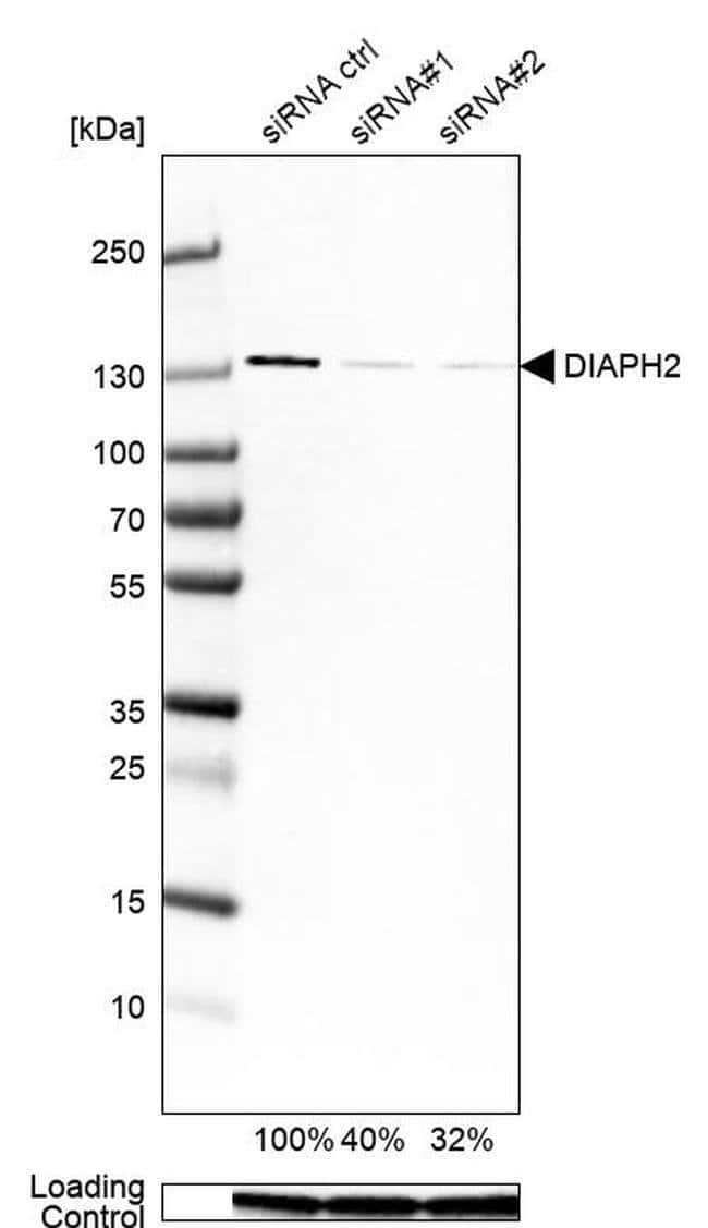 DIAPH2 Mouse anti-Human, Clone: CL1111, Invitrogen 100 µL; Unconjugated
