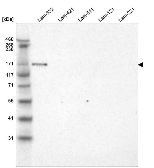 Laminin alpha-3 Mouse anti-Human, Clone: CL3112, Invitrogen 100 µL;