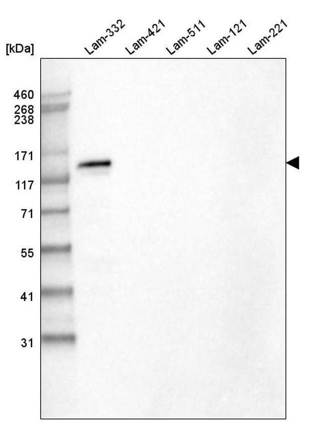 Laminin beta-3 Mouse anti-Human, Clone: CL3363, Invitrogen 100 µL;